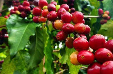 Quelle est la différence entre le café Arabica et le café Robusta ?