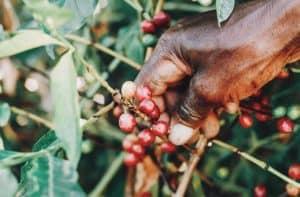 Le café d'Ethiopie